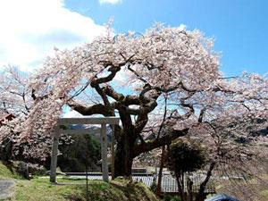 阿南町 桜の名所り