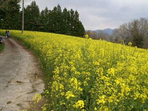 平石農場 菜の花畑