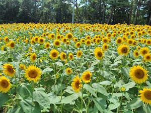 平石農場 ひまわり畑